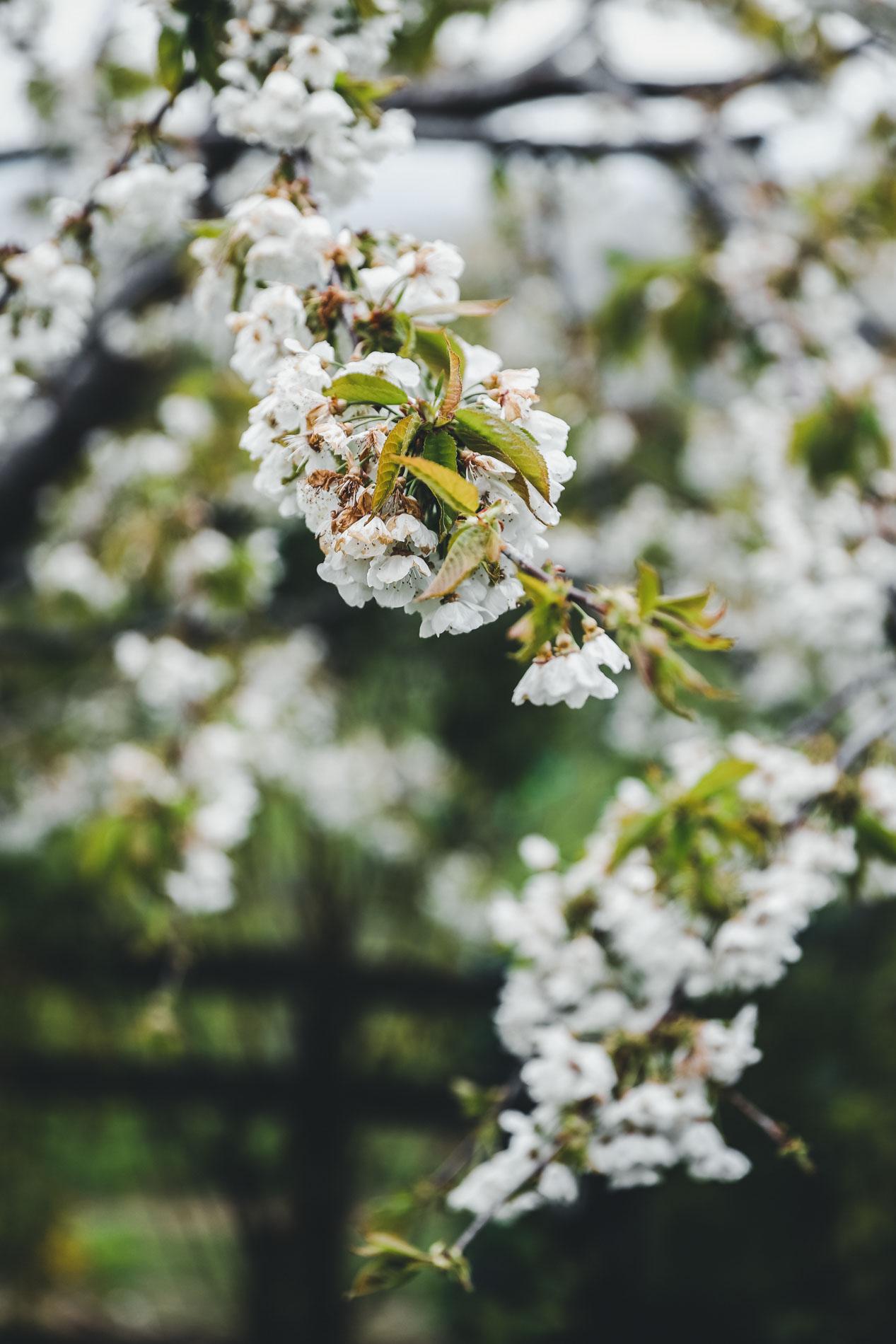 Nicht nur Äpfel wachsen im Piemont, sondern auch Trüffel, leckerer Wein und die berühmten Haselnüsse.