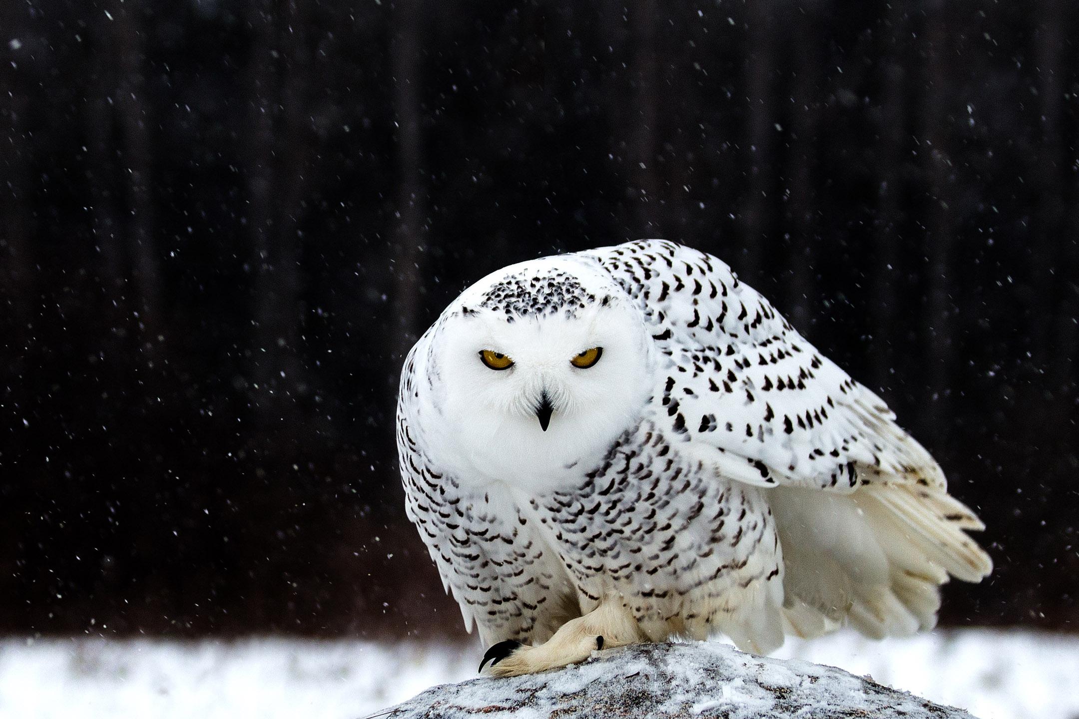 IMG_8823_snowyOwl.jpg