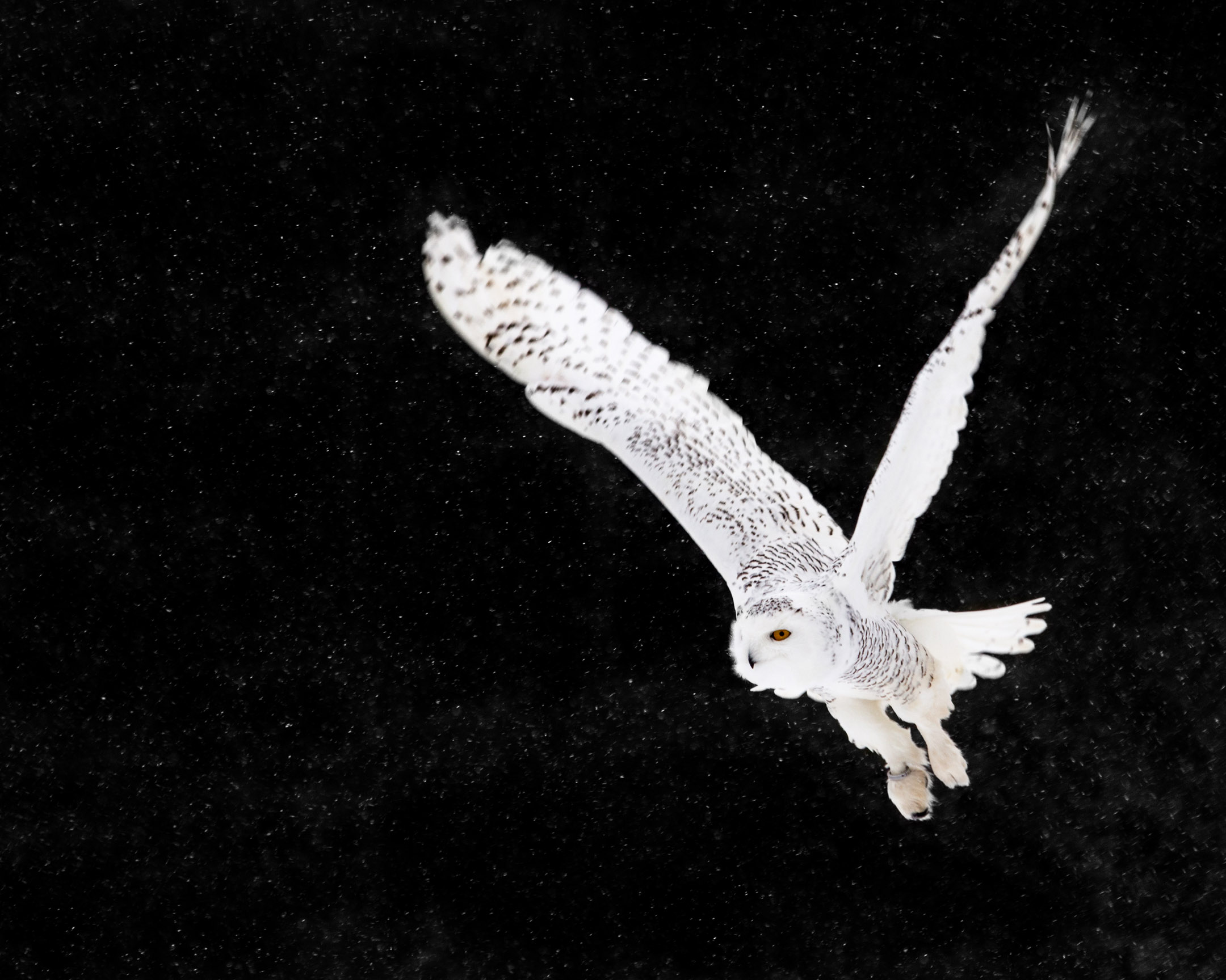 Snowy Owl in flight during a snow storm - 01/17/2016