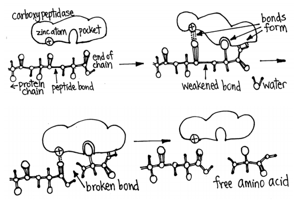 Enzymes: The Little Molecules That Couldby Emily Buehler - Click to read Emily's article on the unsung heroes of fermentation originally written for Peter Reinhart's book Whole Grain Breads.