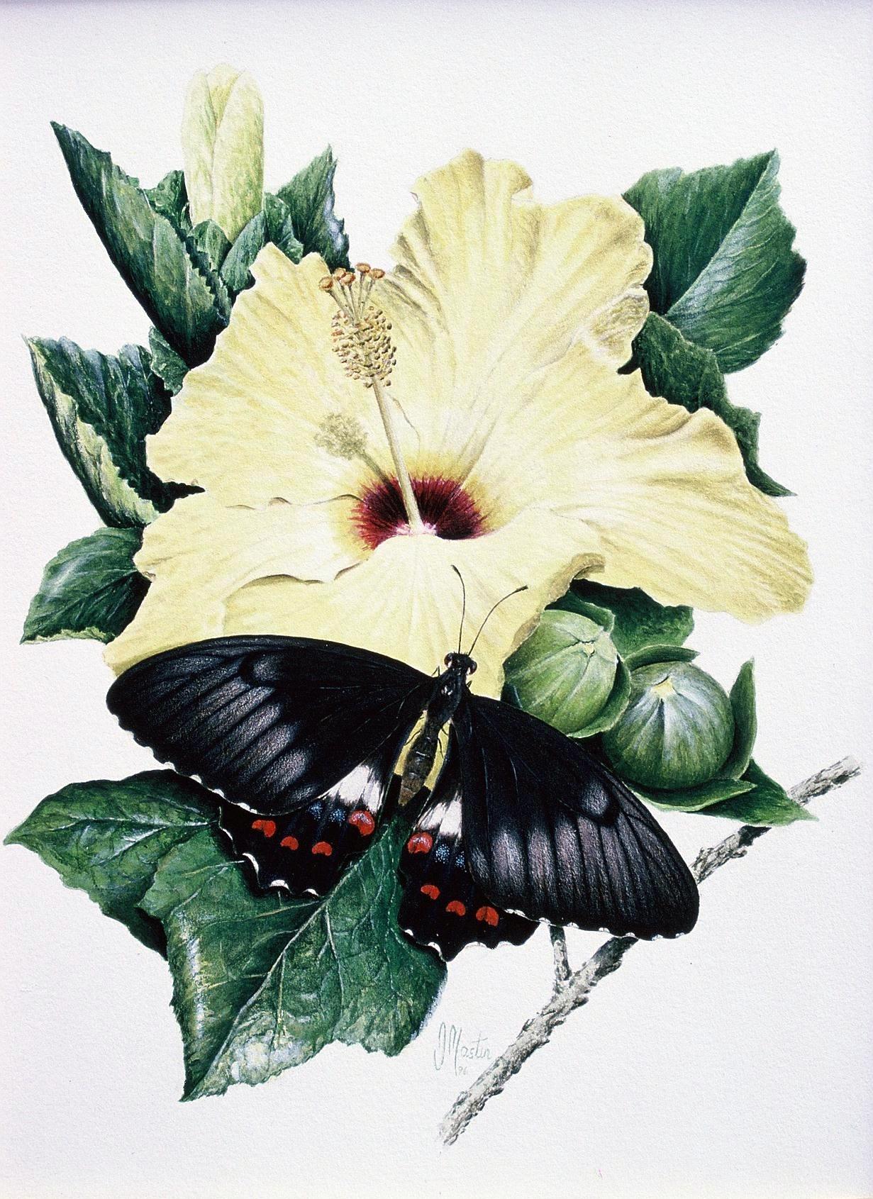 Papilio Fuscus Capaneus