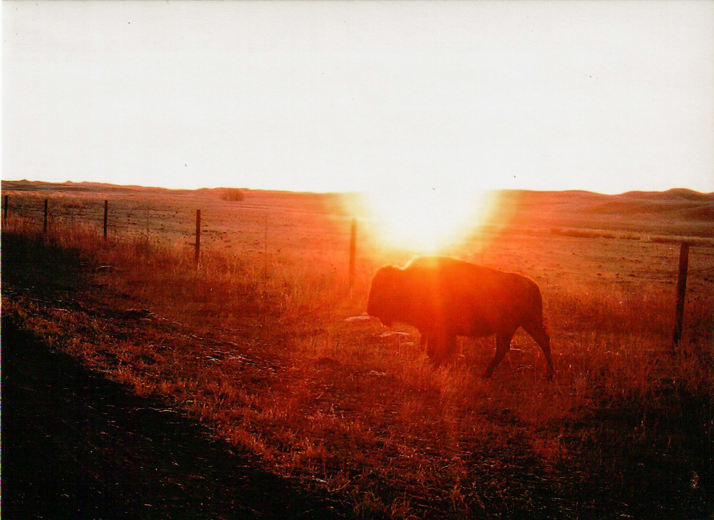 Lone bison at dawn on the Spike Box