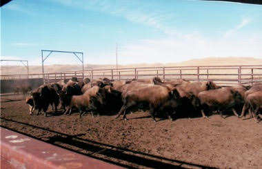Sorting bison