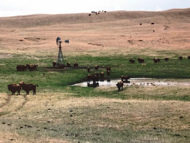 South herd during calving season