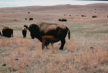 Cow and new calf on the Spike Box