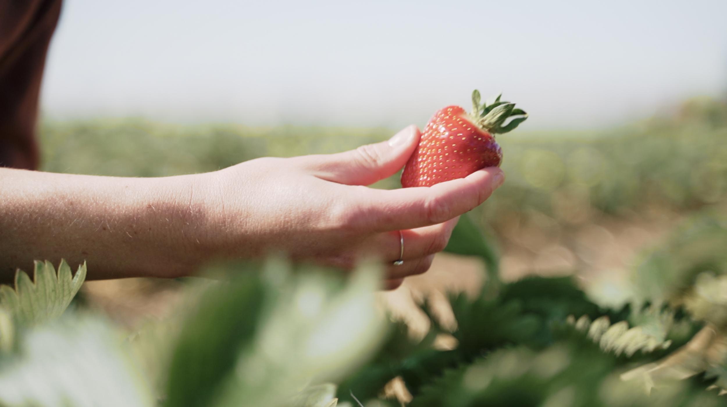 Vidéo reportage réalisé pour Exki sur les fraises et son producteur
