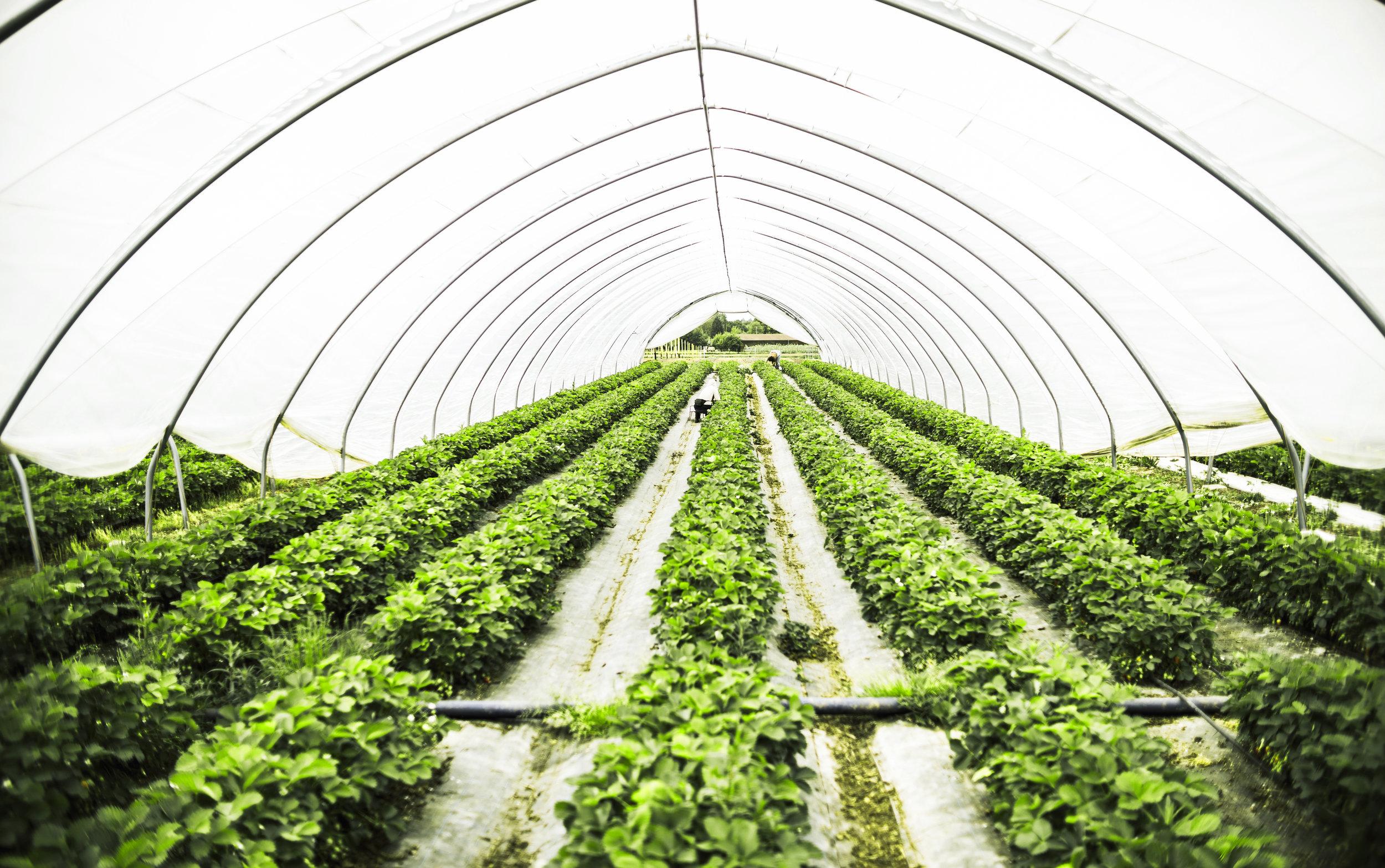 - In der Tunneln reifen unsere frühesten Erdbeeren heran die Ernte beginnt Ende April.In der Hochsaison beschäftigen wir bis zu 150 Saisonarbeiter. Sie kommen aus Rumänien und Polen. Einige unserer Mitarbeiter kommen schon seit mehr als 20 Jahren zum Arbeiten. Darüber hinaus gibt es noch 5 ständige Mitarbeiter.