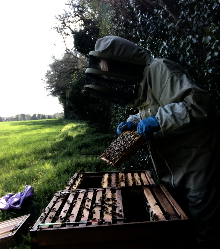 SHAKING BEES FROM THE OLD BROOD BOX IN TO THE NEW ONE