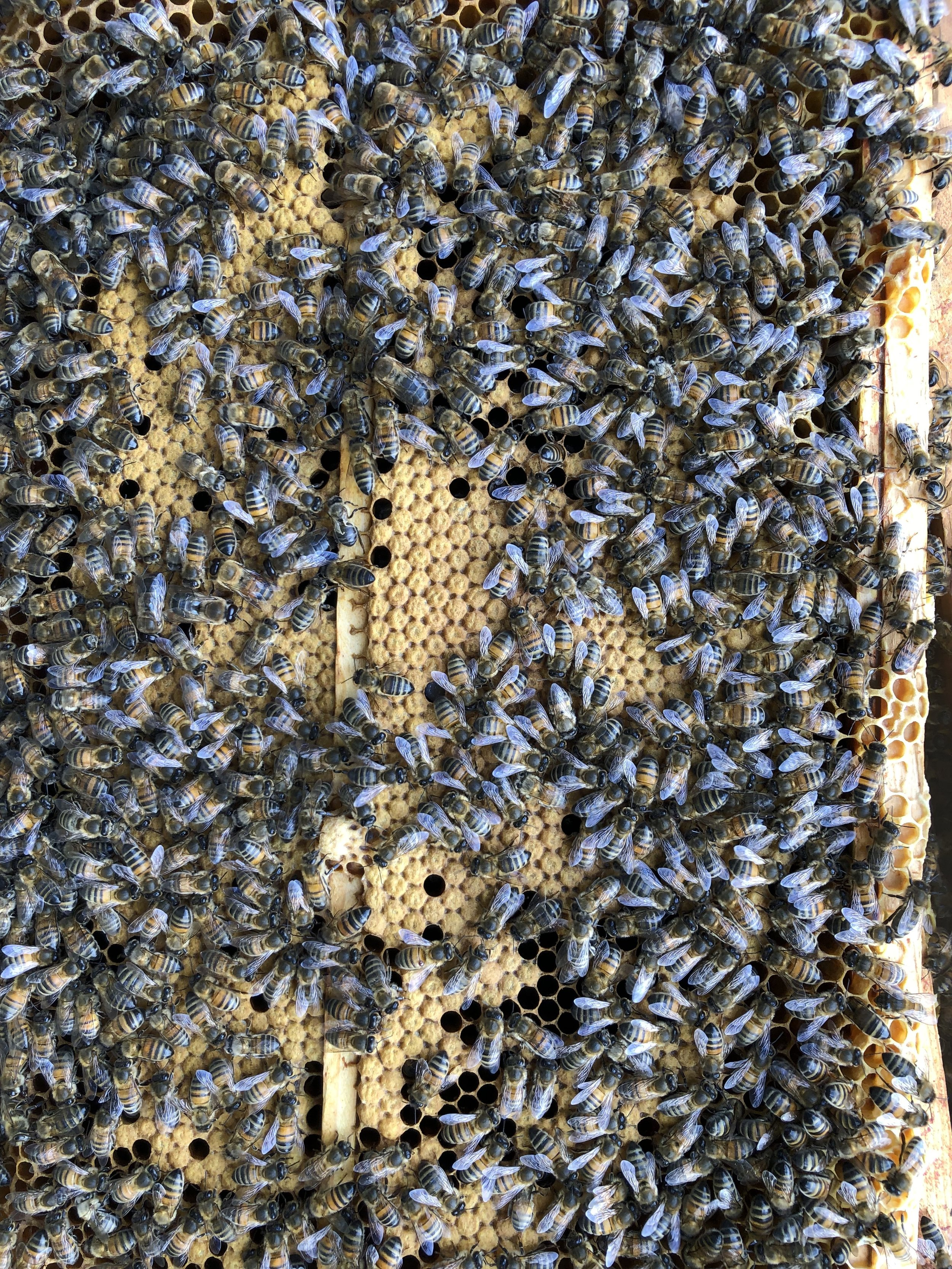 """""""Amelie's Hive""""  Lovely wall to wall brood. Clever girls."""