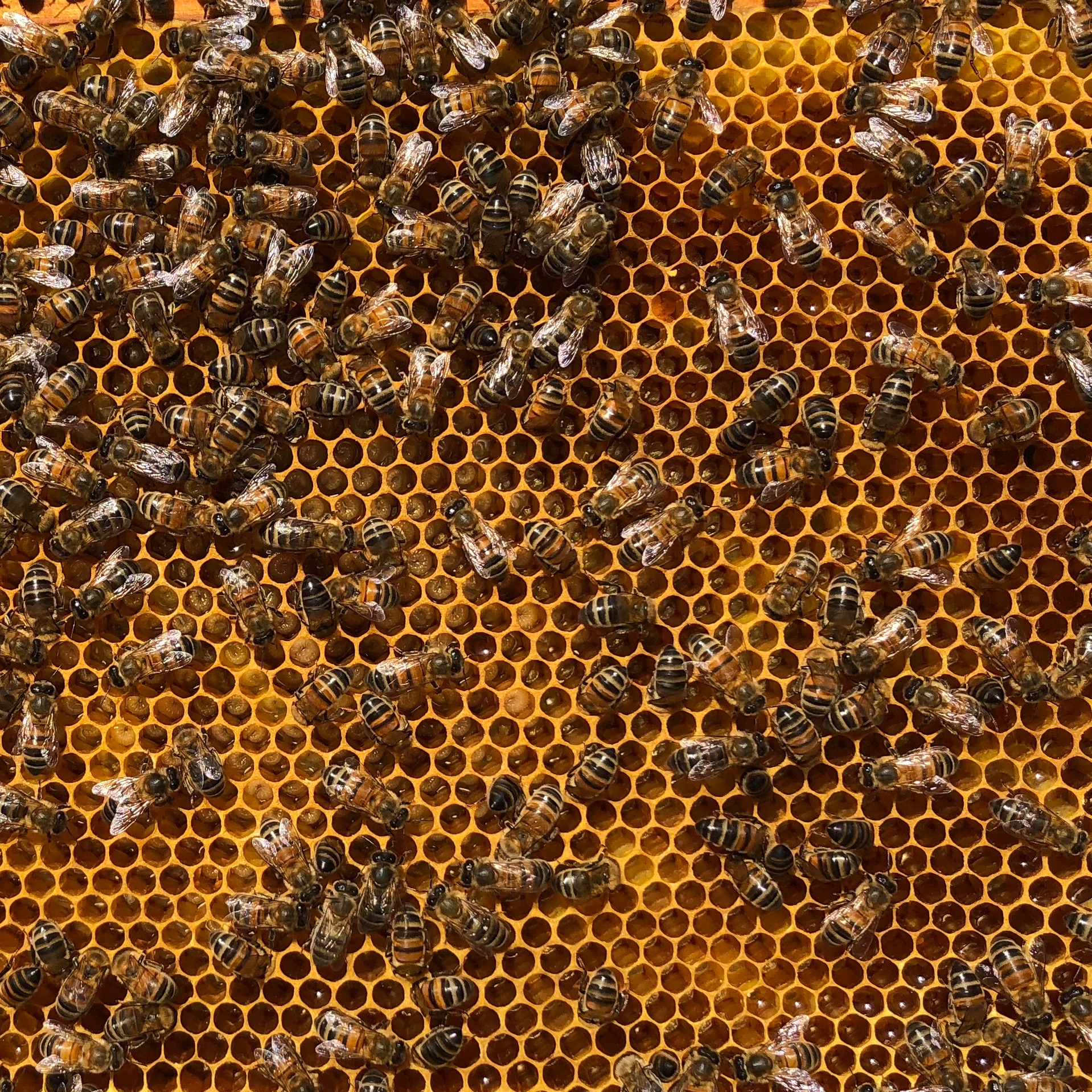 Lovely uncapped brood.