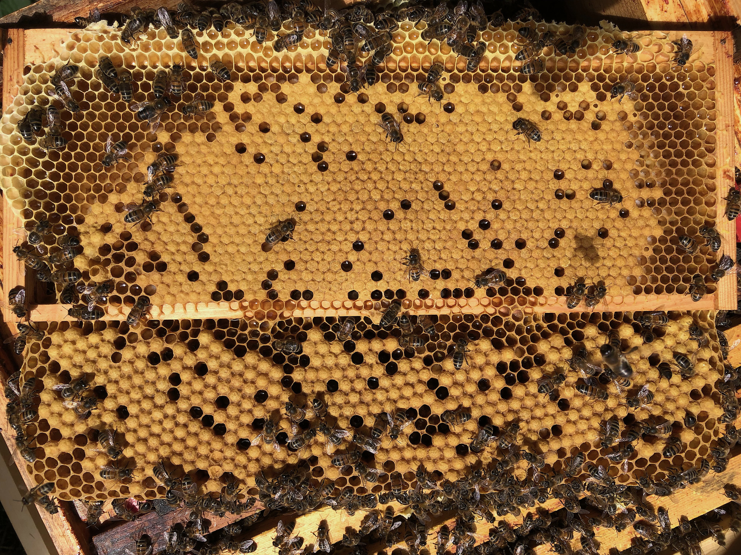 Drone comb built and the brood covered underneath the worker brood in the super frame.