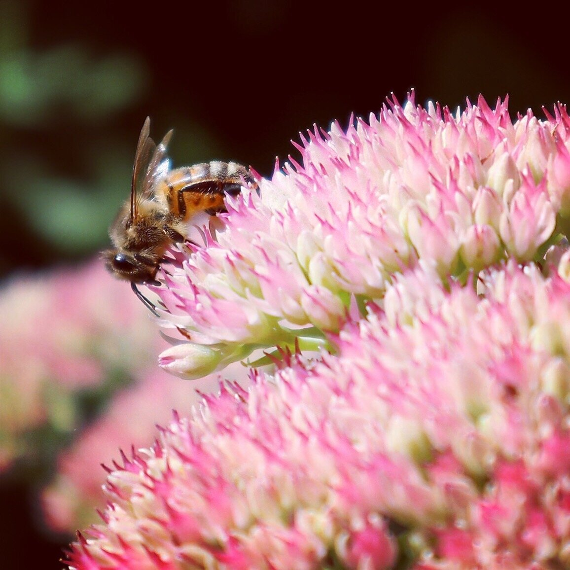 Bewitching honeybee on one of the many beautiful Sedums, ( Hylotelephium spectabile), in my garden.