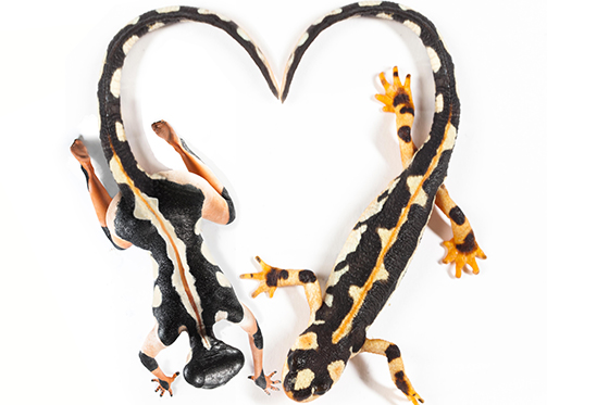 ID379128-All-You-Need-is-Love-…-and-Newts-Gabby-Wild.jpg