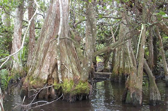 ID373445-Everglades-Cypress-Trail-Michelle-B-Yates.jpg