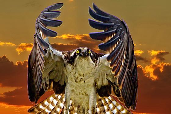 ID405275-Osprey-at-Sunset-Sandy-Scott.jpg