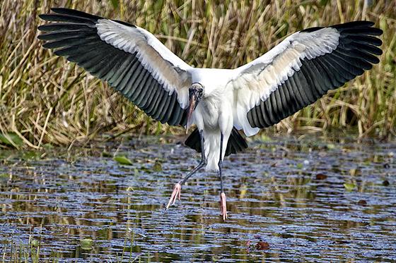 ID413538-Landing-Wood-Stork-Sandy-Scott.jpg