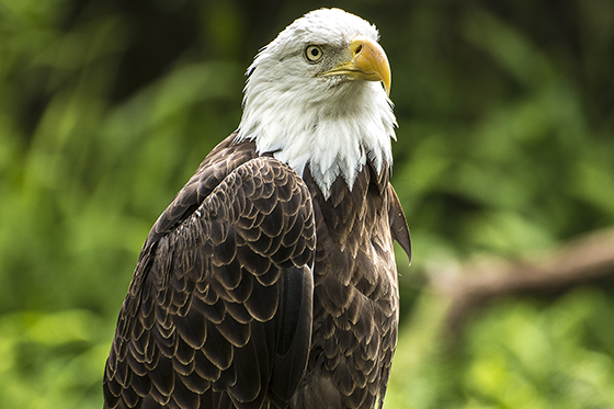 ID419859-Eagle-Standing-Watch-Emmitt-Lane.jpg