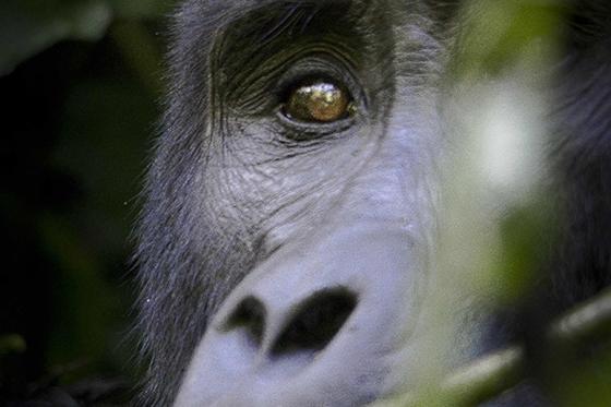 ID424866-Glimpse-of-Gorilla-Shanna-C-Love1.jpg