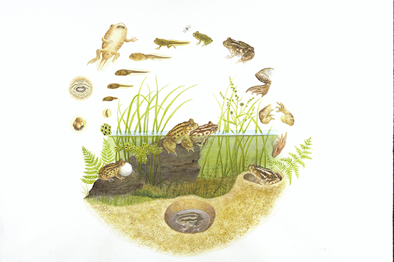 ID425307-Life-Cycle-of-the-Spadefoot-Toad-Dorie-P-Petrochko.jpg