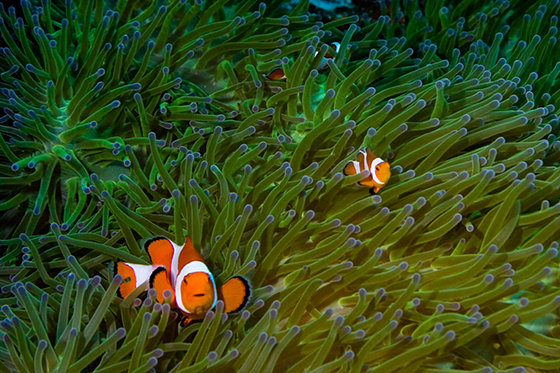 ID425417-Clown-Fish-of-Wakatobi-Michael-Wicks.jpg