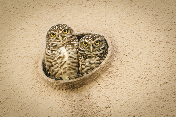 ID425652-Burrowing-Owls-Drain-Spout-Home-Mark-K-Thomas.jpg