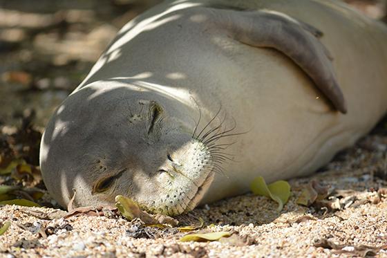 ID426100-Hawaiian-Monk-Seal-Joshua-J-Capp.jpg