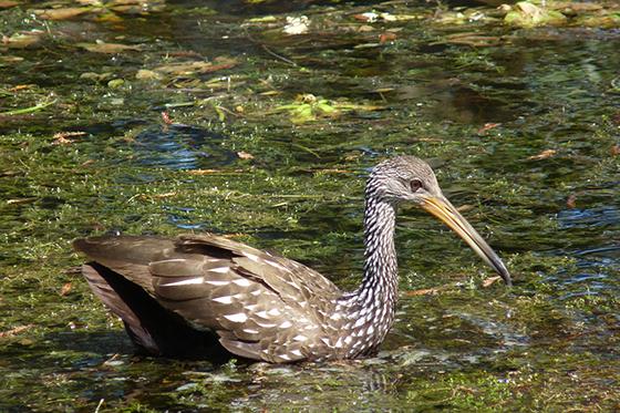 ID426103-Wading-Swimming-Fishing.-Limpkin-in-Florida-Penelope-A-Treat.jpg