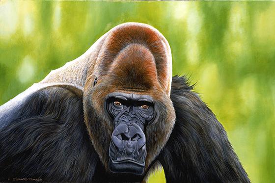 ID426174-Gorilla-Edward-Takacs.jpg