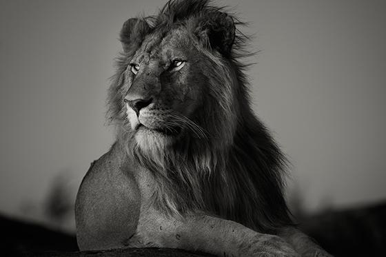 ID426247-Nomad-Lion-Pekka-Jarventaus.jpg