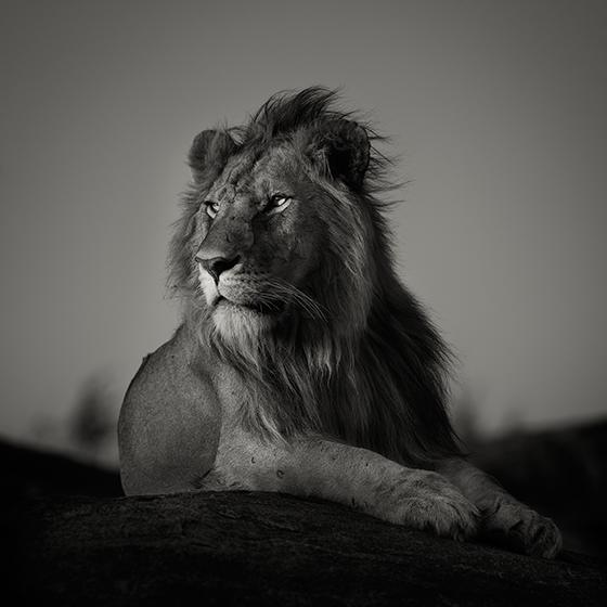 ID426247-Nomad-Lion-Pekka-Jarventaus_NEW.jpg