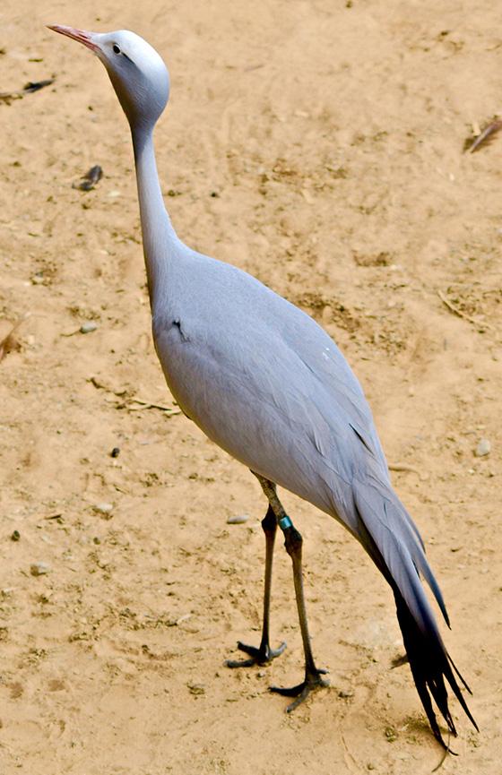 ID469016-Blue-Crane-Sandra-Pipken.jpg