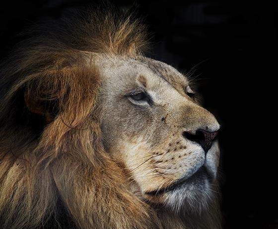 ID474295-The-Spirit-of-a-Lion-Caroline-E-Brown.jpg