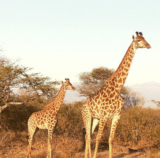 ID474820-Giraffes-Annie-Veasey.jpg