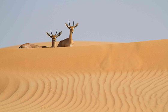 WEB_P_ID475073-Mountain-Gazelles-Kirsten-Hines.jpg