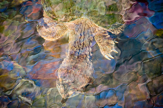 WEB_P_ID475108-Snapper-in-Stained-Glass-Pond-Katherine-Liepe-Levinson.jpg