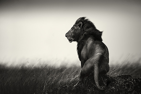 WEB_P_ID475123-Lion-on-Hill-Pekka-Jarventaus.jpg