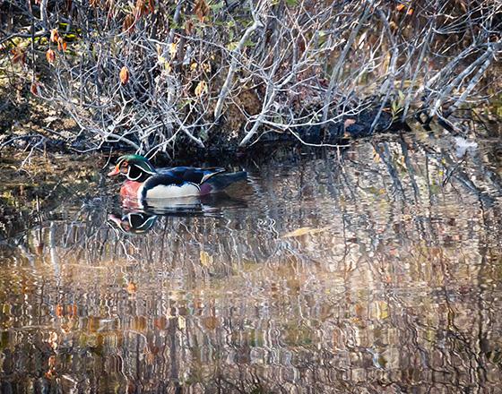 WEB_P_ID475217-Male-Wood-Duck-2-Katherine-Liepe-Levinson.jpg