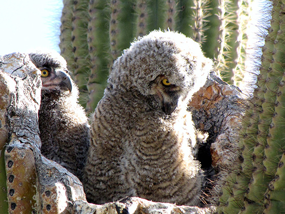 WEB_P_ID475388-Great-Horned-Owl-Babies-Patricia-L-Quinn.jpg