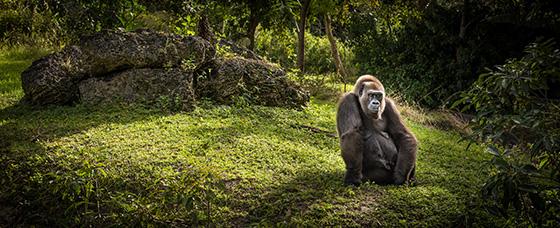 P_ID491219-The-Contemplative-Gorilla-Steven-Greenbaum.jpg