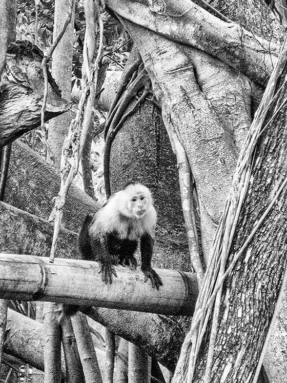WEB_P_ID496741-Capucin-Monkey-Miriam-Klepper.jpg