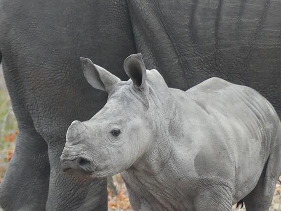 WEB_P_ID518685-Rhino-and-Calf-Wayne-Amedee.jpg
