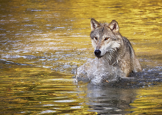 WEB_P_ID520137-Emerging-Wolf-Daria-Davis.jpg