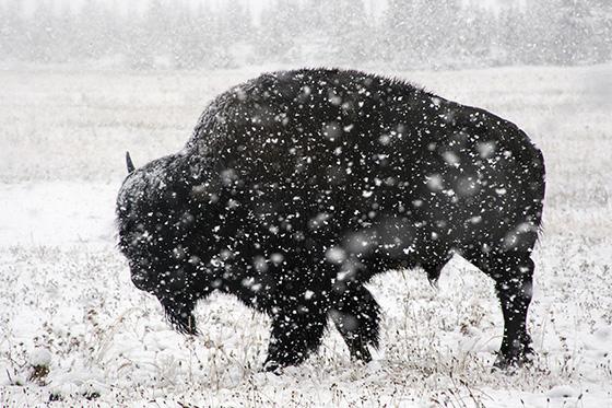 WEB_P_ID520481-Bison-feeding-in-summer-snow-Patty-Kelley.jpg