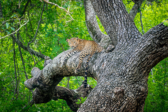 WEB_P_ID560387-Queen-of-the-Jungle-Joseph-Anthony.jpg