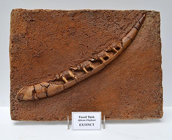 WEB_ID520252-Fossil-Tusk-Thomas-Norpell.jpg