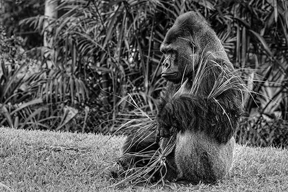 Gorilla 2 © 2018 Steven Greenbaum | All Rights Reserved