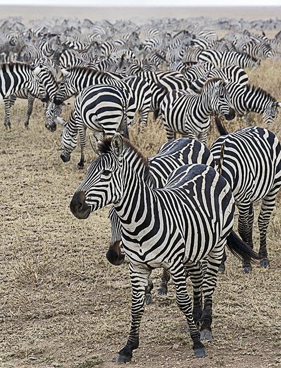 Pundamilia Wa Serengeti © 2018 Frances Ehrenberg-Hyman | All Rights Reserved