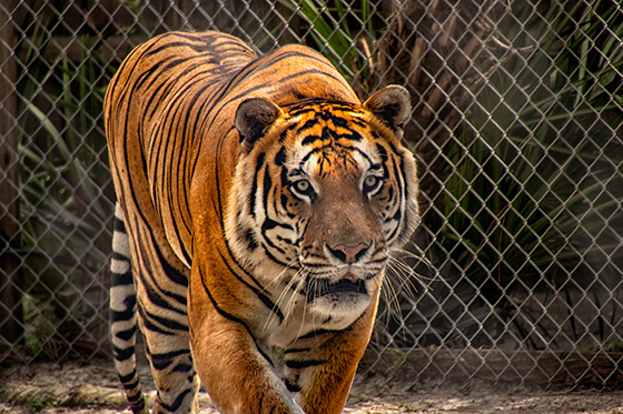 Don't Get Too Close to the Tiger © 2018 Miriam Klepper | All Rights Reserved