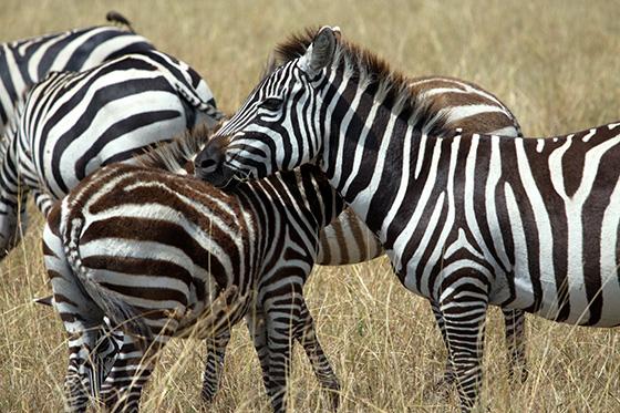 Nurturing Zebras © 2018 H. Allen Benowitz | All Rights Reserved
