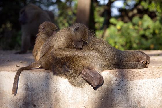 Ape Siblings Nurturing Dad © 2018 H. Allen Benowitz | All Rights Reserved
